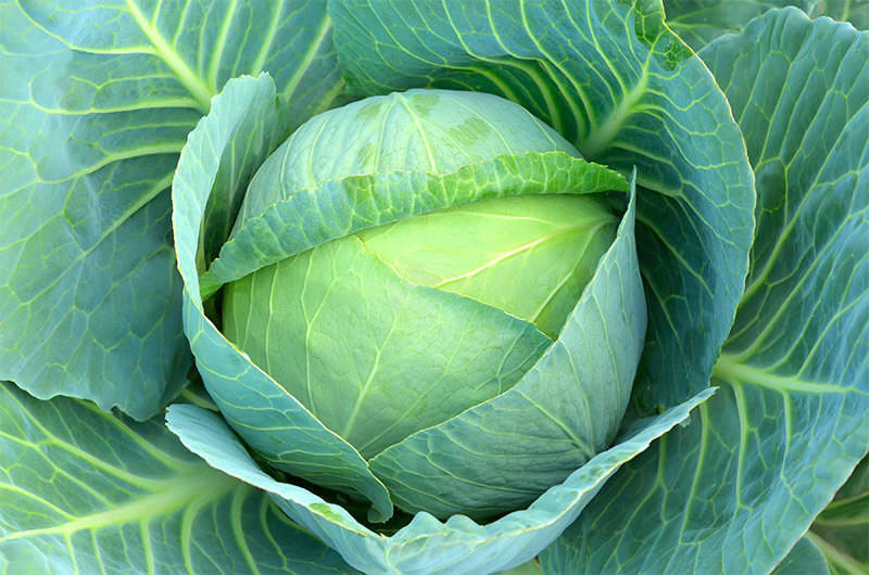 Plant cabbage seed in mid to late summer, and you'll have a bountiful crop come fall.