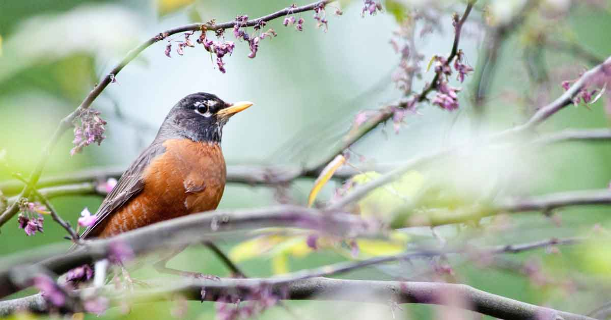 attract robins