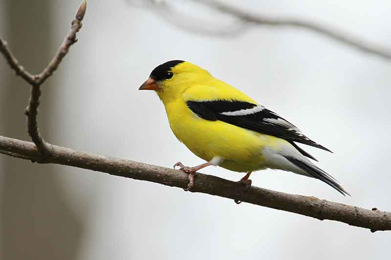 goldfinch habitat