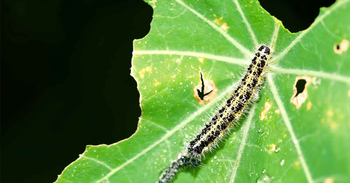 defending plants from cabbage moths
