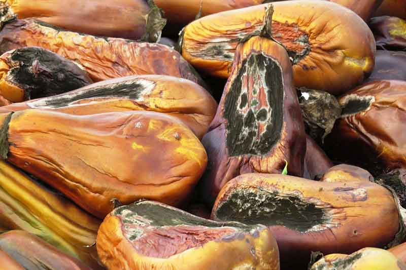 how to prevent fungal disease on eggplants