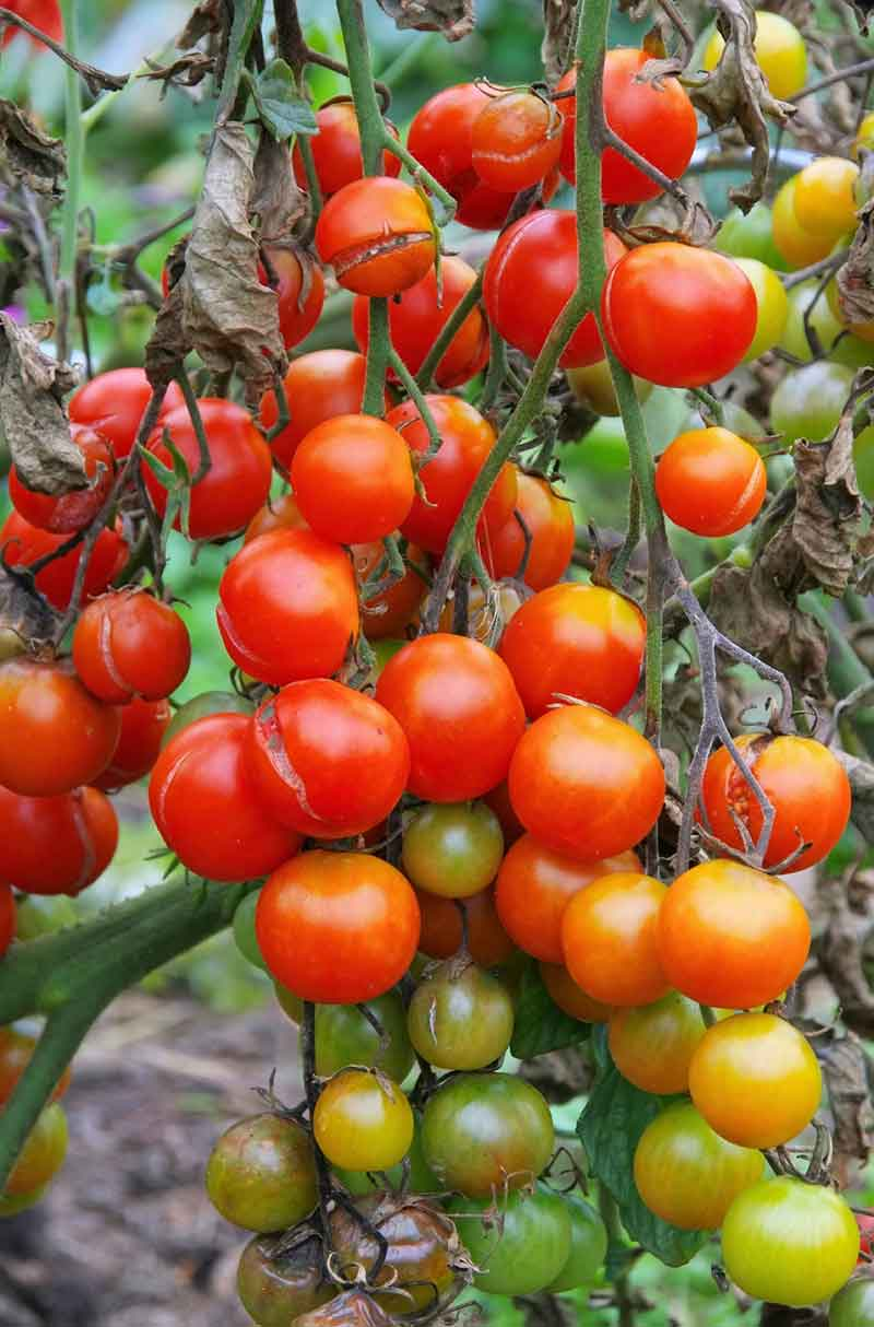 Common pests and diseases of tomato