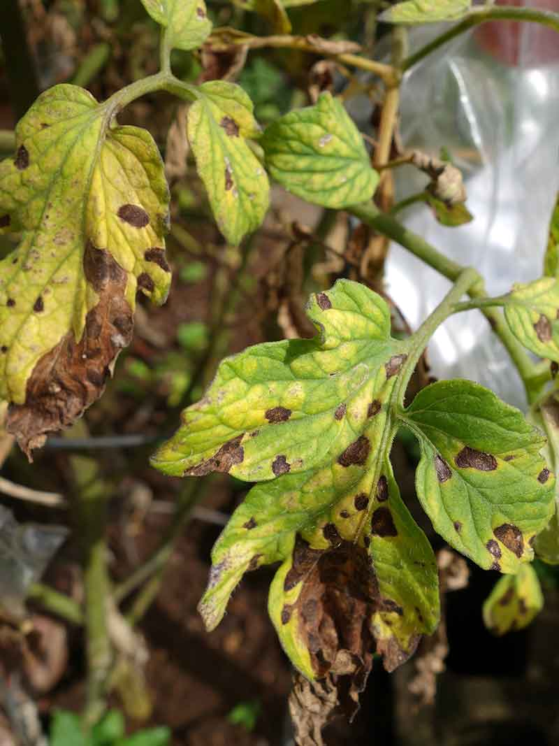how to treat black spots on plants