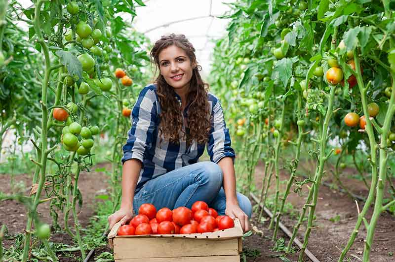 How To Plant Grow And Harvest Tomatoes