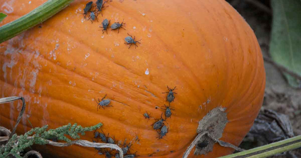 How to Control and Prevent Squash Bugs in Your Garden