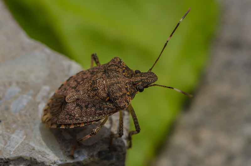 Simple home gardening - Eliminate Squash Bugs From Your Garden