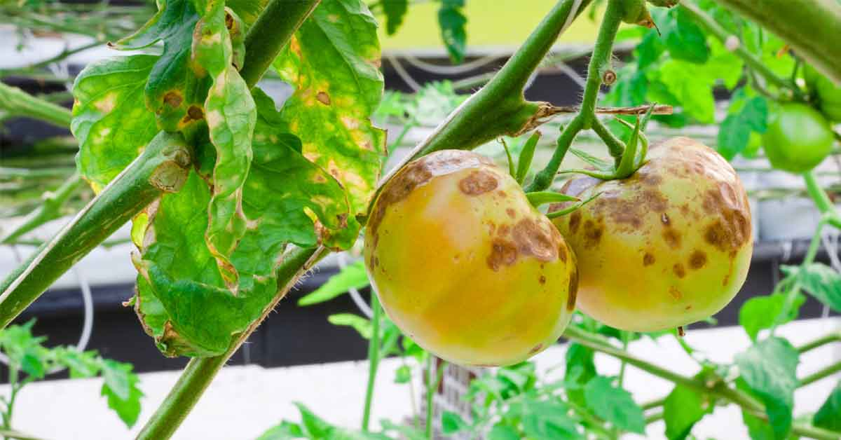 How to Identify, Control and Prevent Blight on Your Tomatoes