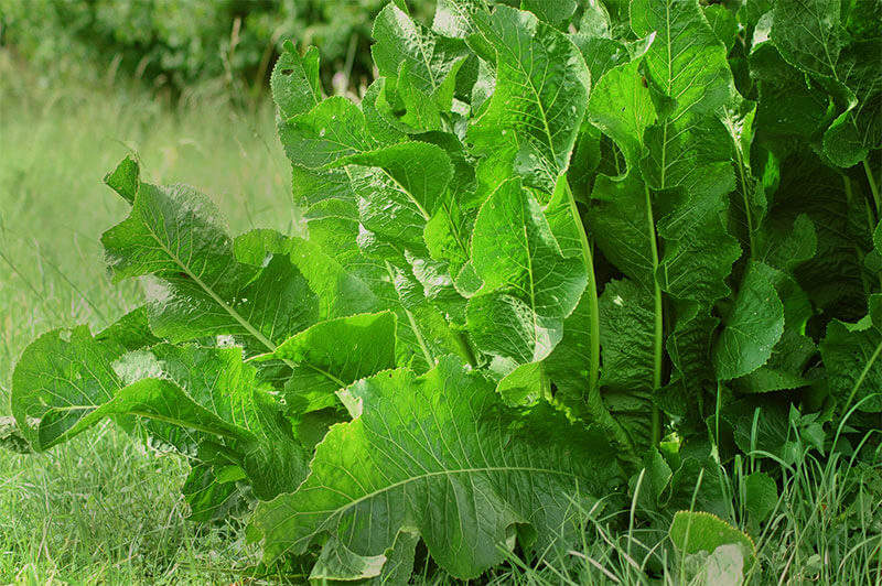 Horseradish roots lie beneath its large, strong leaves.