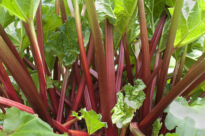 Rhubarb stalks bring color to your garden and taste to your table.