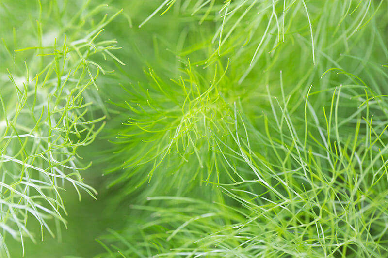 Fern-like fennel provides a soft, aromatic backdrop for other garden plants.