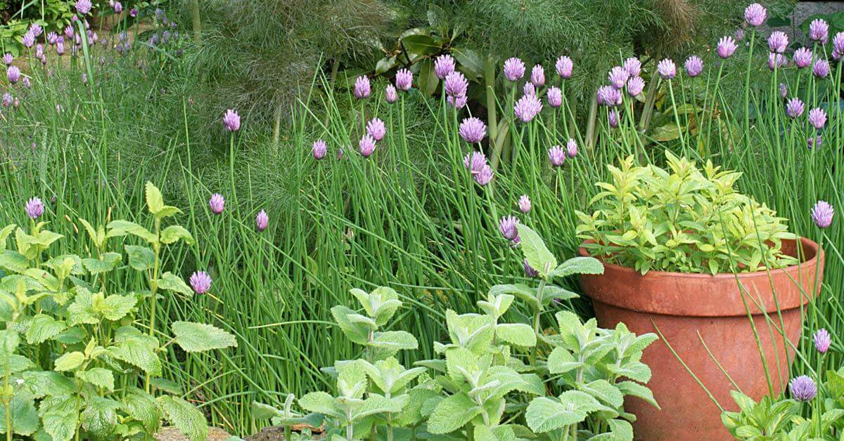 Many edibles commonly grown in vegetable gardens need to be replanted every year.