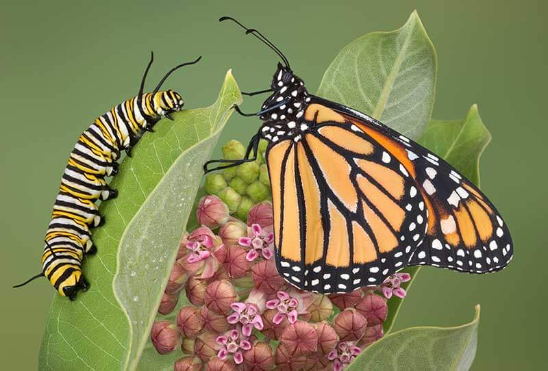 Recognize desirable insects, such as monarch caterpillars and adults, in their different life stages.