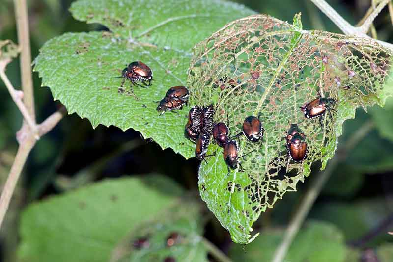 Get The Upper Hand On Japanese Beetles