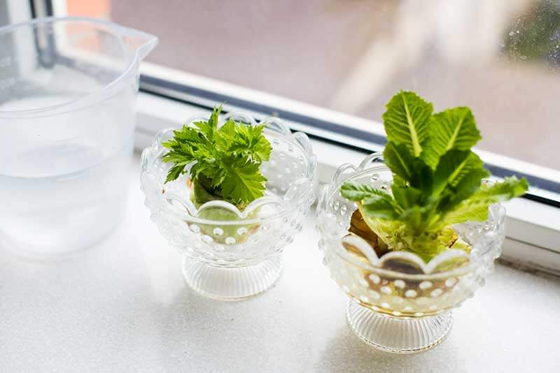 Both lettuce and celery scraps root and regrow easily from their bases.