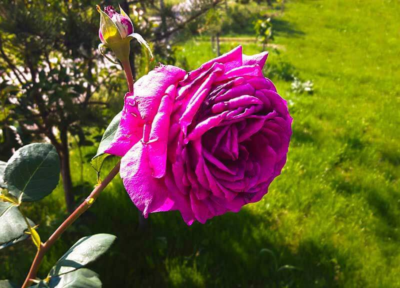 The best softwood cuttings come from right below fading rose blooms.