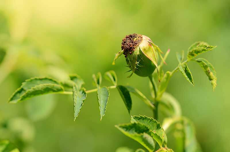 Rose cuttings can be taken in fall from stems below rosehips that have started to form.