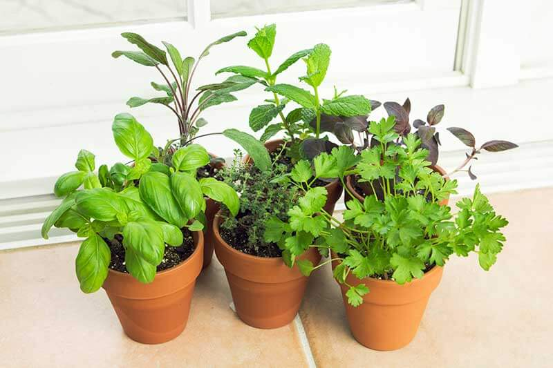 Container herbs turn sunny windows into garden spots.