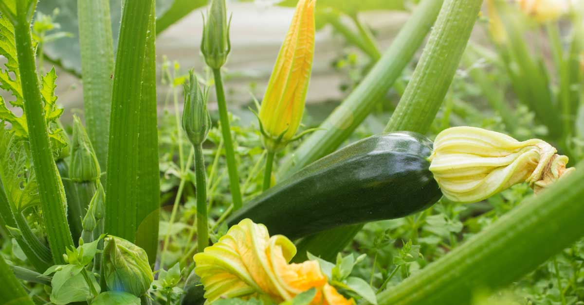 Growing Zucchini & Squash Header and OG