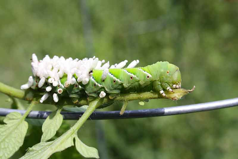 How to End Hornworm Havoc