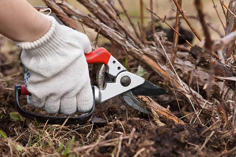 Pruning away dead canes each year helps berry bushes stay productive.