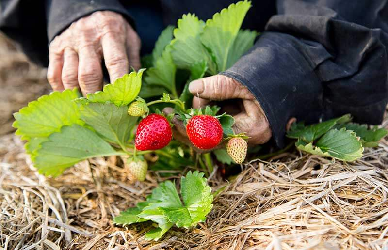Strawberries need well-draining soil, rich in organic matter and on the acidic side.