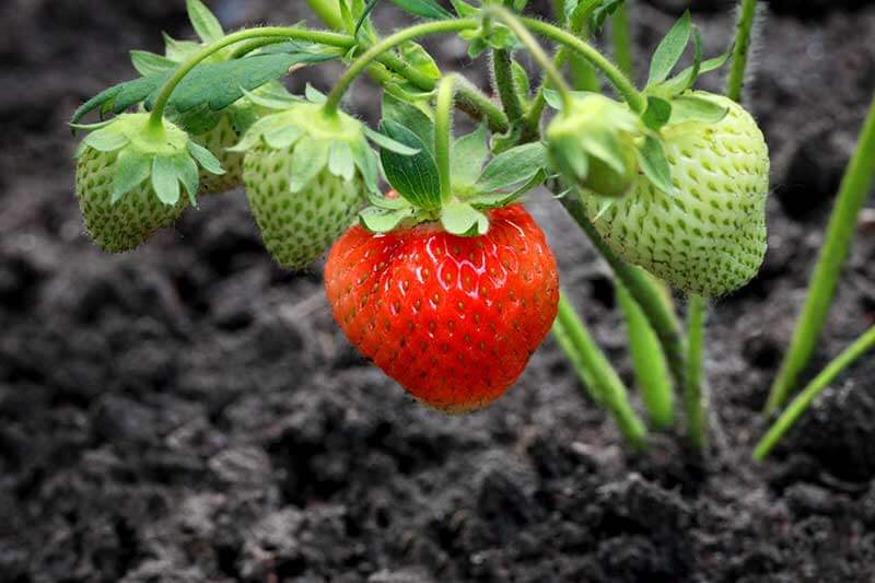 Strawberries can be grown in the ground, in raised beds and in containers.