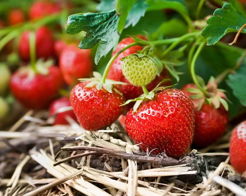 Strawberries are ready for harvesting in three to five weeks after blossoming.