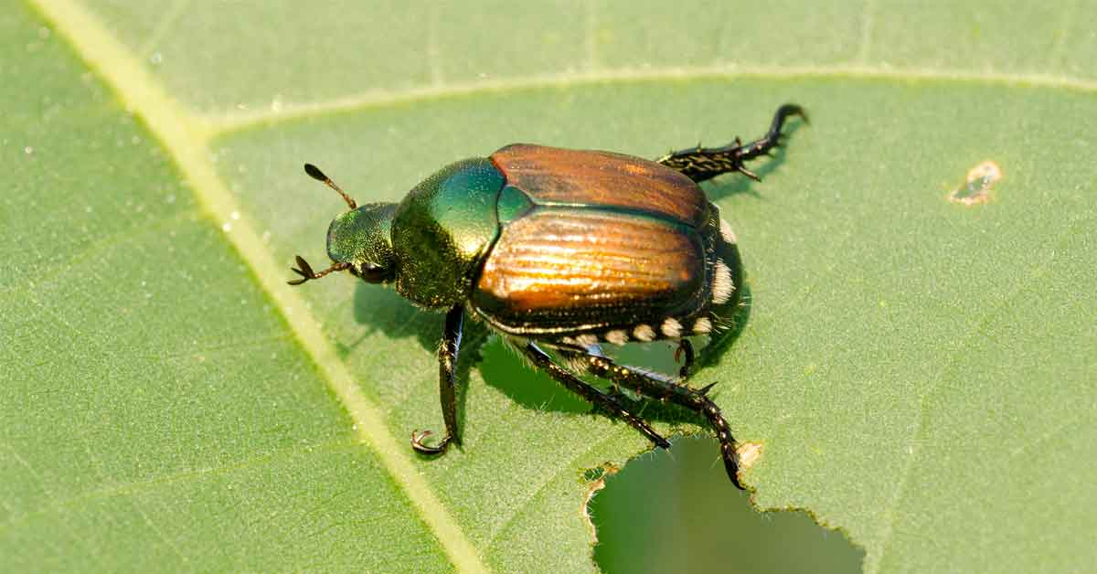 Japanese Beetle Protection For Your Trees And Shrubs