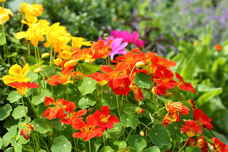Nasturtiums bring waves of color to the garden and the table.