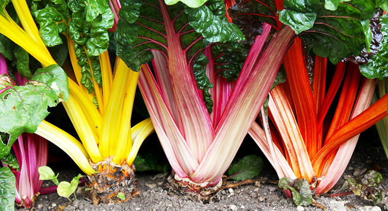 Swiss chard's colorful stems and textured leaves can be landscape highlights.