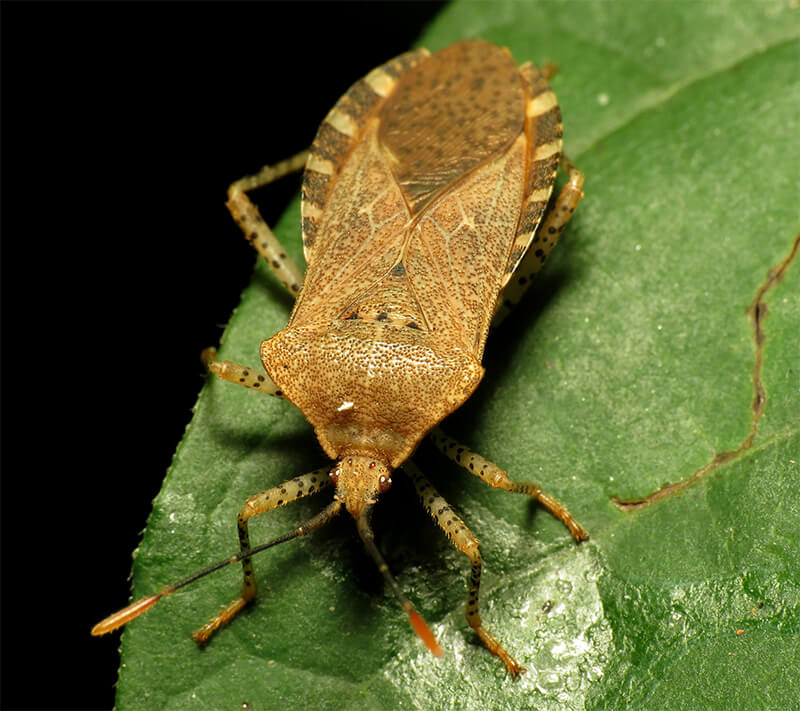 Squash bug on leaf