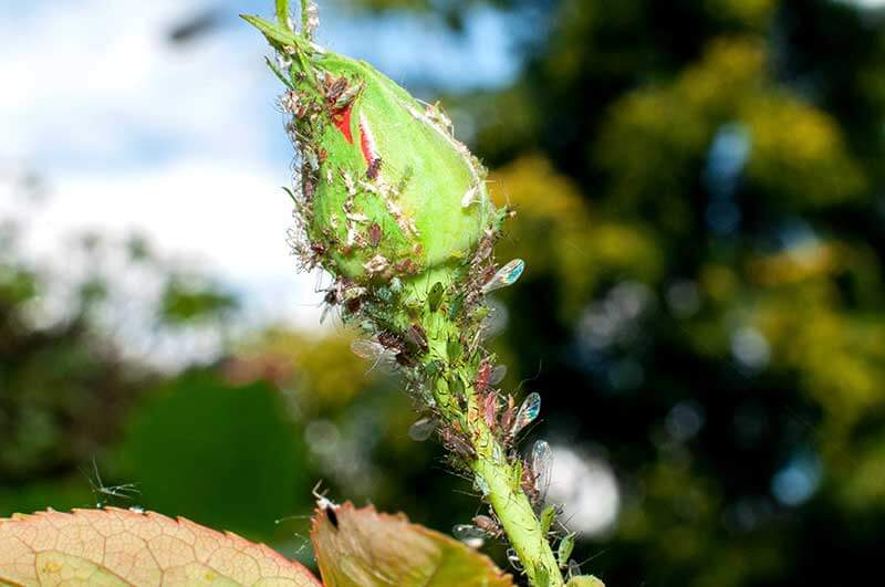Rose aphids often target tender flower buds.