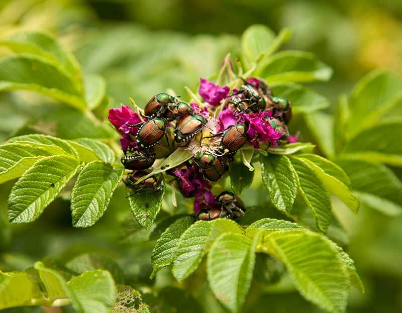 Japanese beetles destroy rose flowers and leaves.