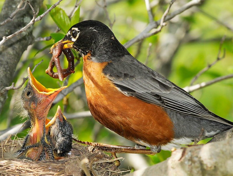 Journals record important garden events, including the year's first baby robins.