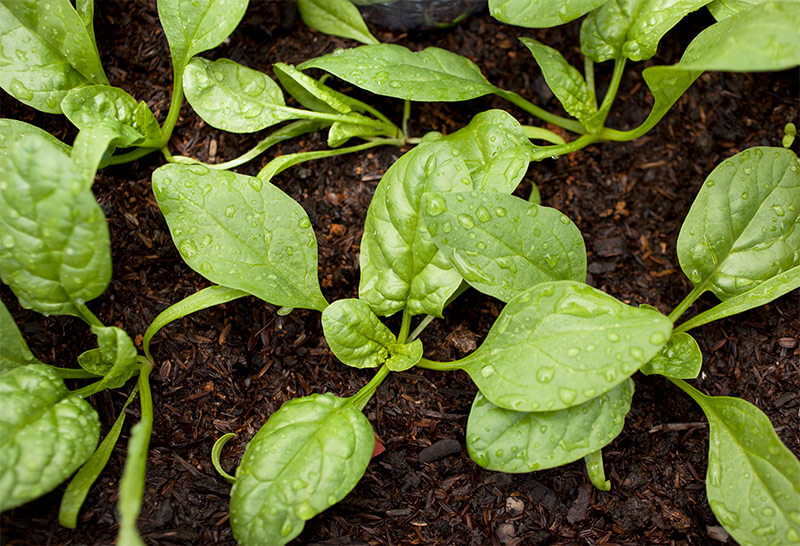 Spinach seeds germinate quickly, even in cool spring soil.