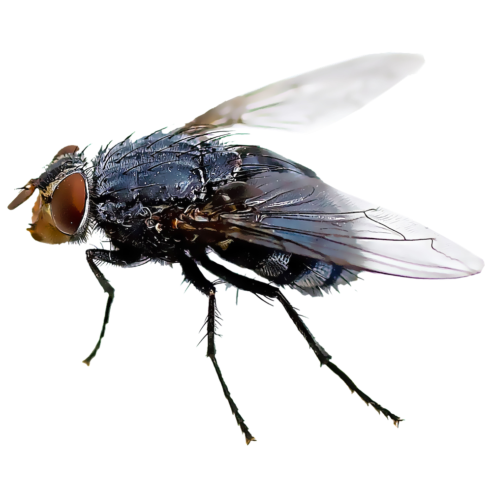Black fly illustration