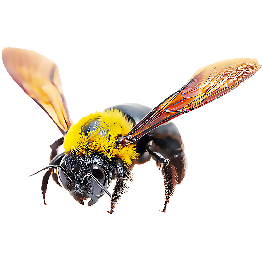 Carpenter Bee illustration