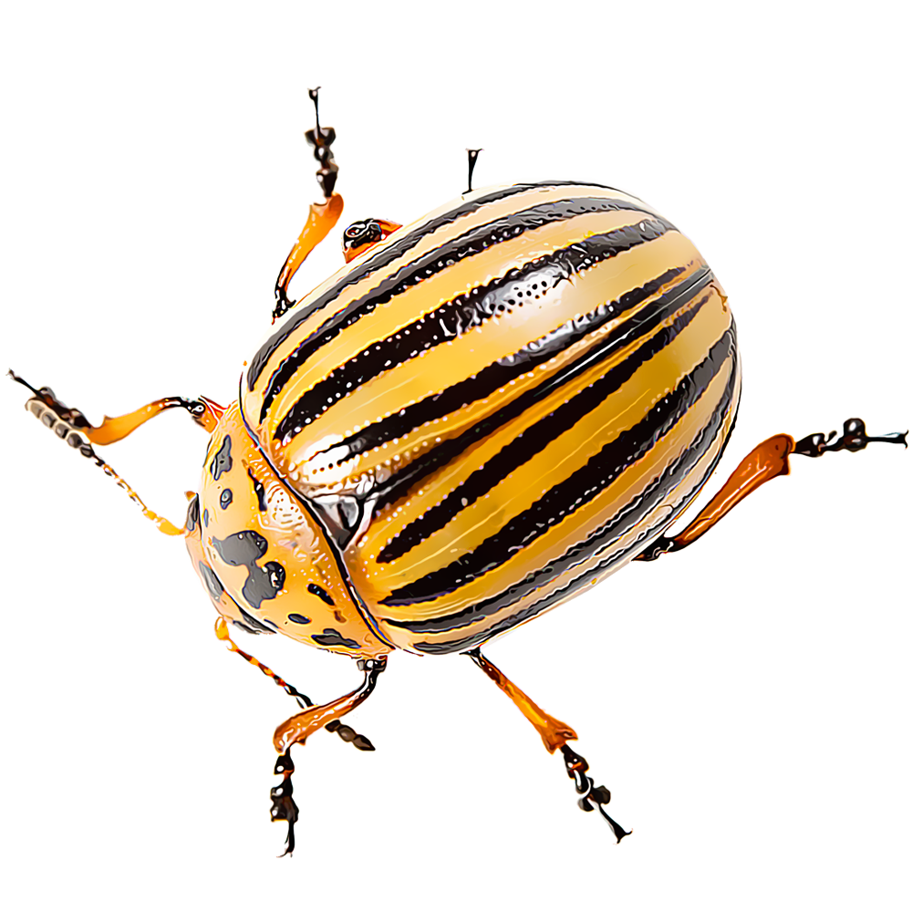 Identify And Control Colorado Potato Beetles