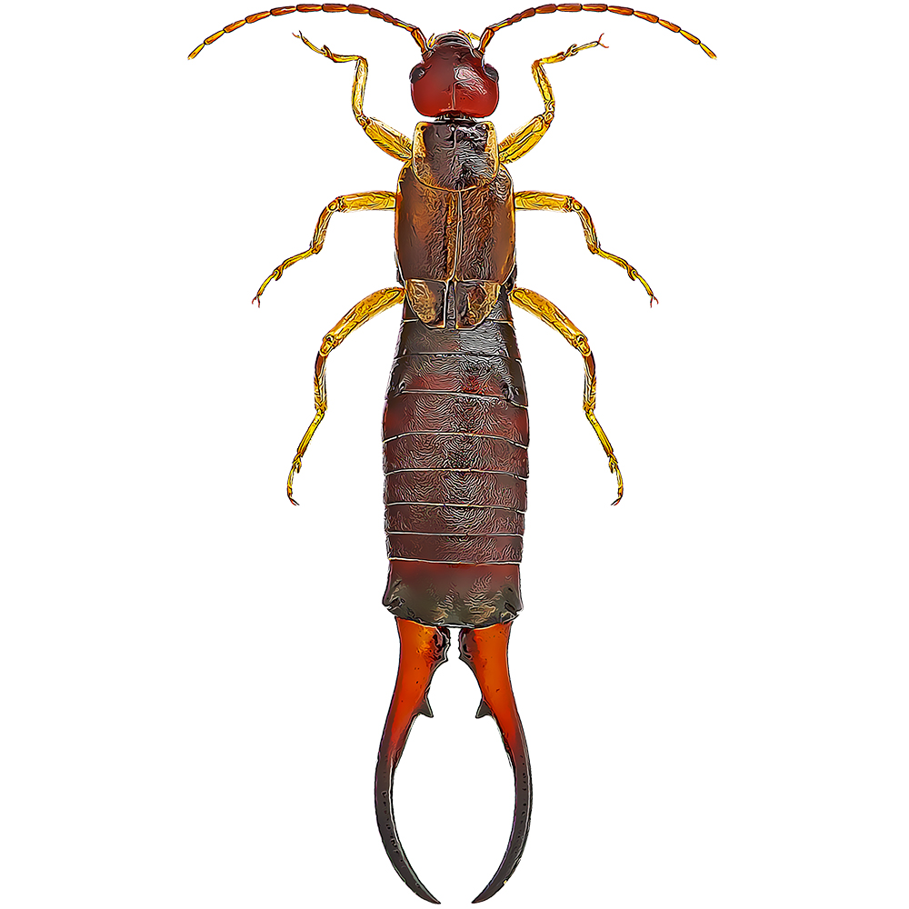 Earwig illustration