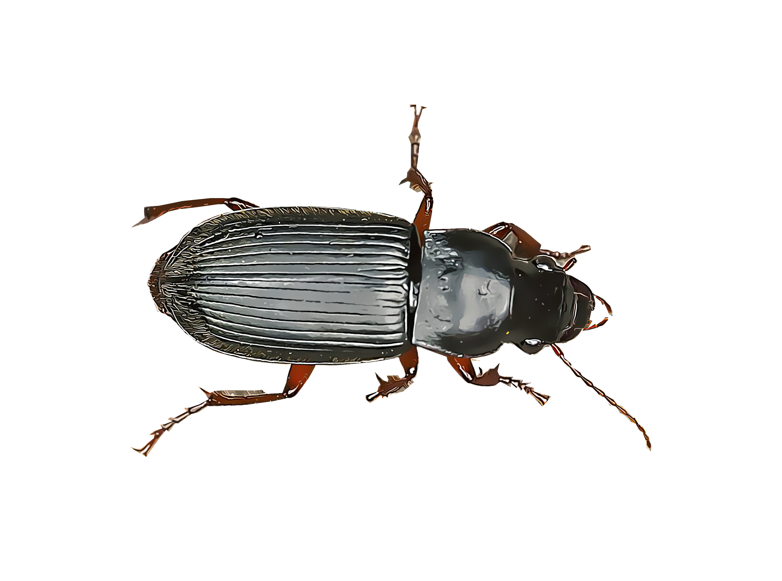 Identify And Control Ground Beetles