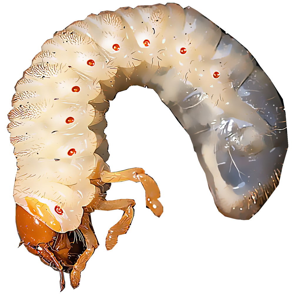 Identify And Control White Grubs