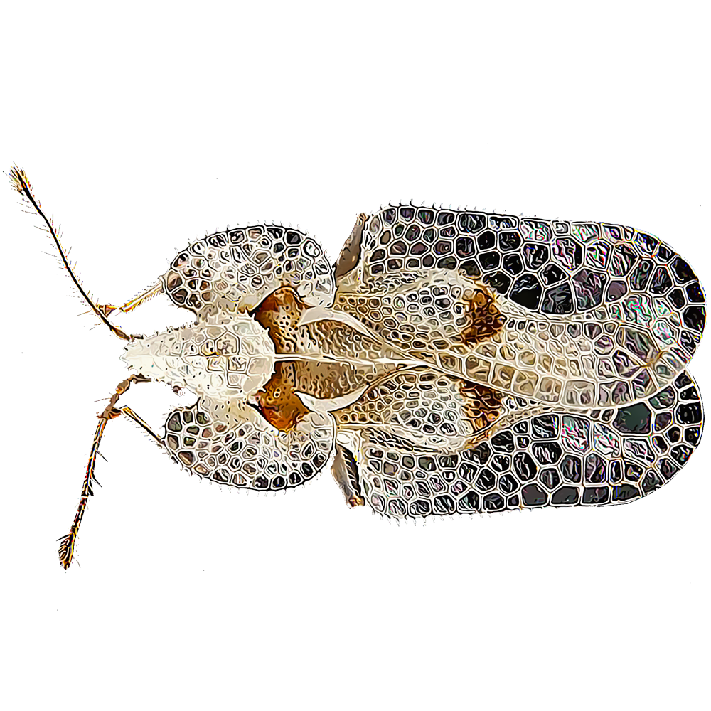 Identify and Control Lace Bugs | GardenTech®