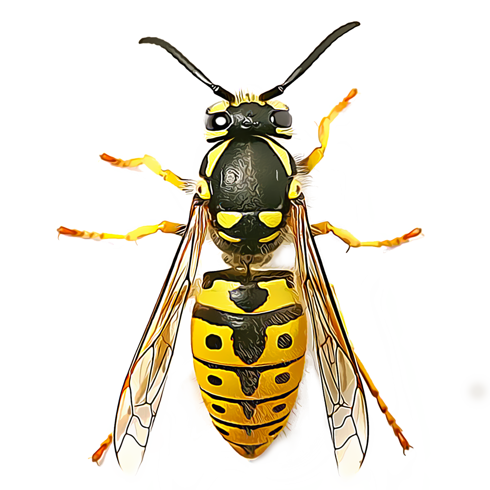 Illustration of a Yellow Jacket.