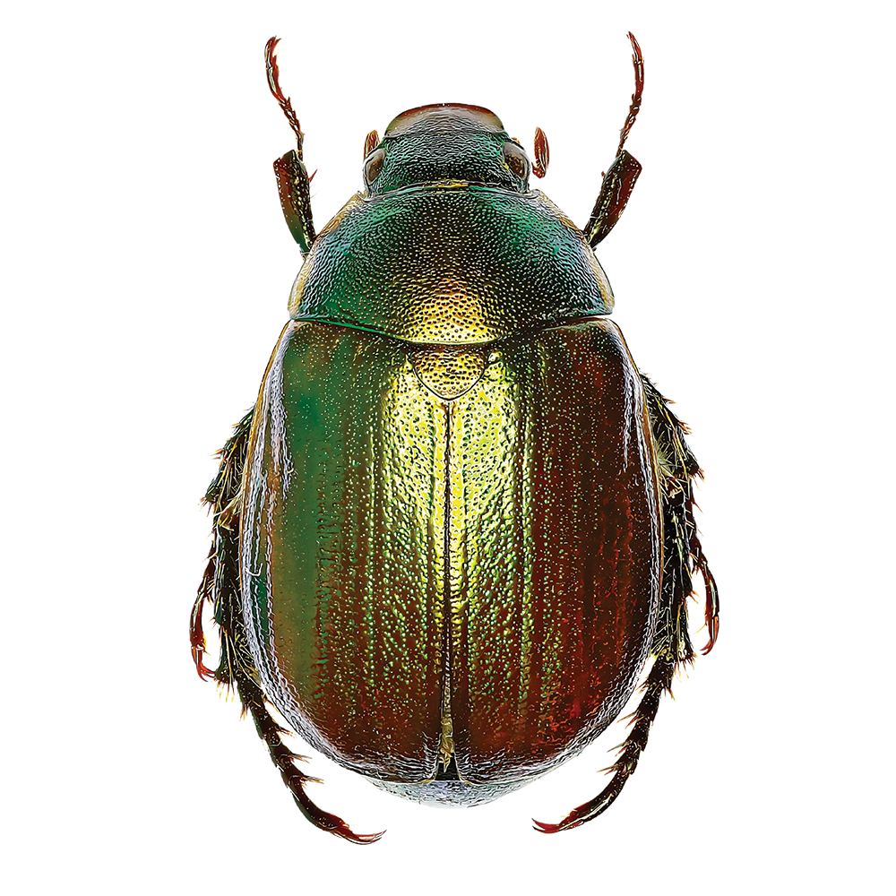 Scarab beetle illustration