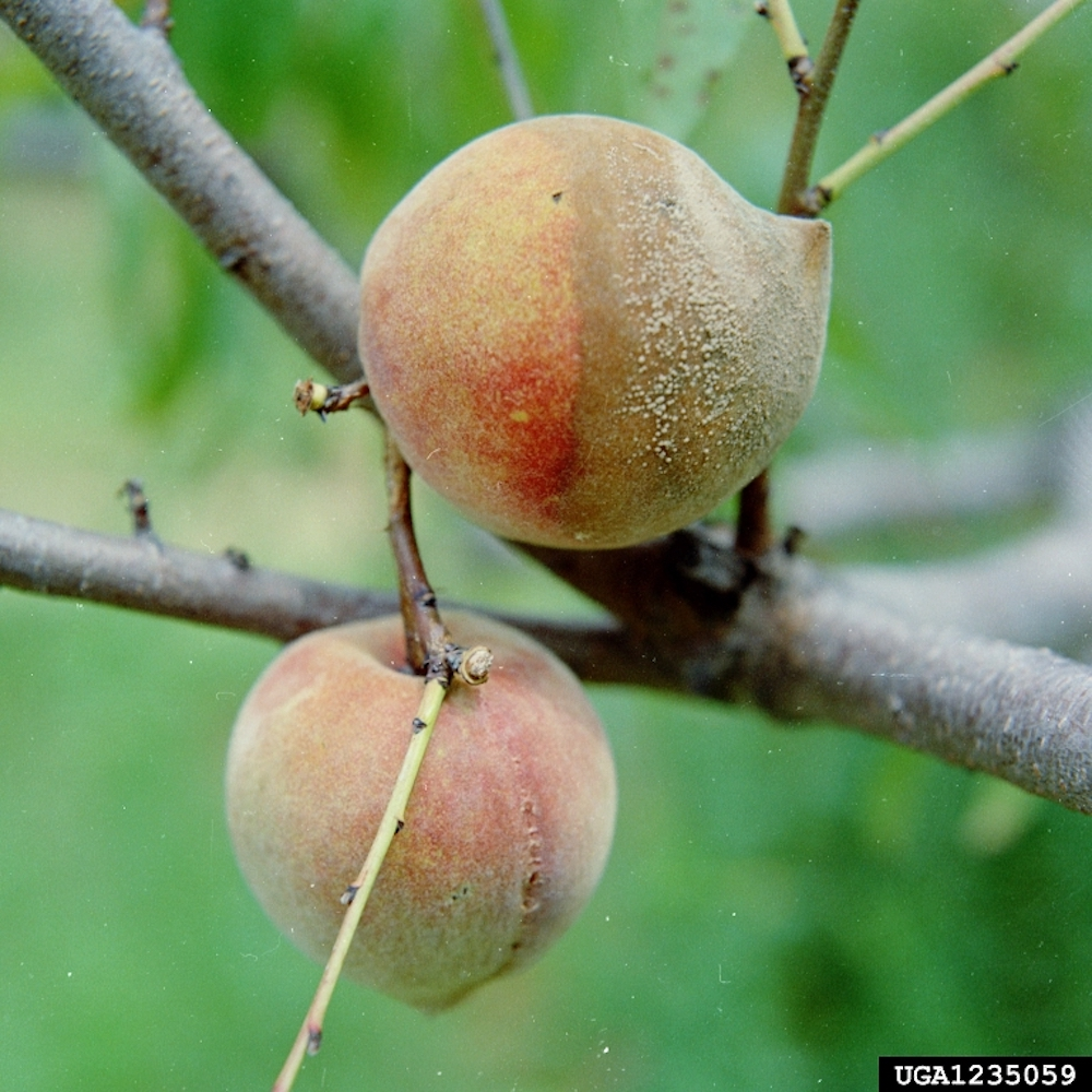 Brown Rot Blossom Blight on garden fruits