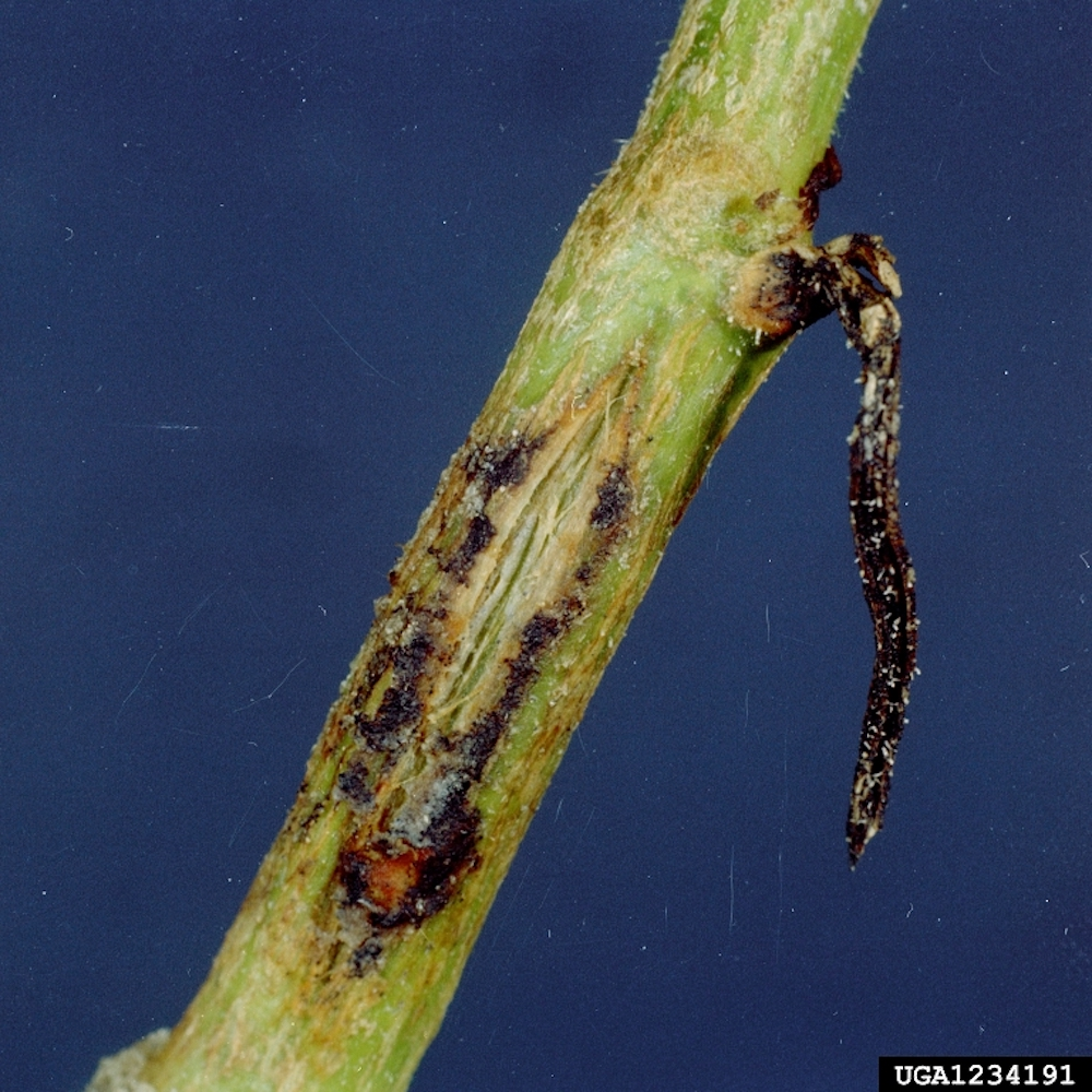 Gummy stem blight on garden plants and fruits