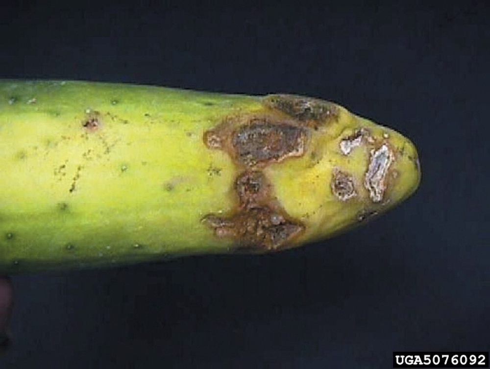 Rhizoctonia Fruit Rot on garden plants and vegetables