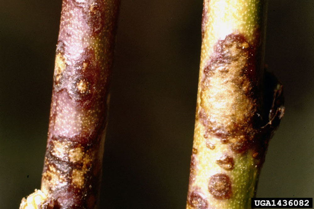 Scab fungal disease on garden plants and vegetables