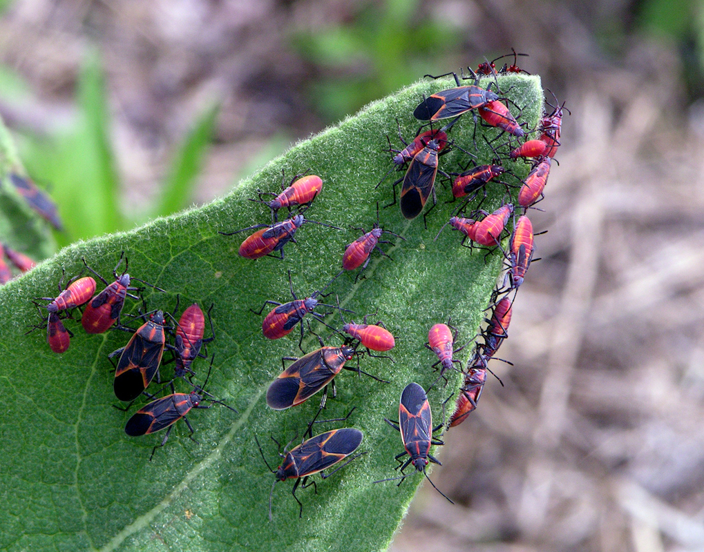 Boxelder bugs on trees