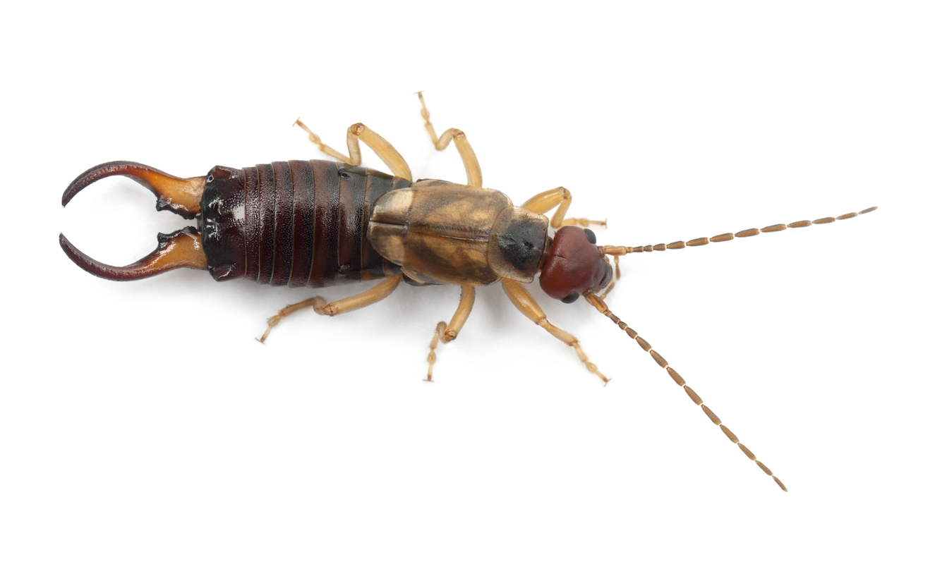close up image of an earwig.